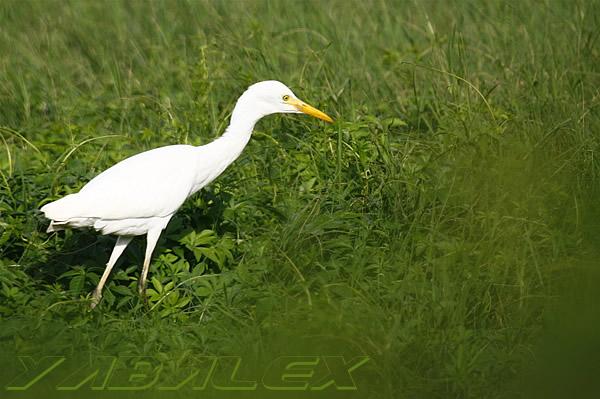 Le site pedagogie de la seor oiseaux migrateurs for Oiseau gris et blanc