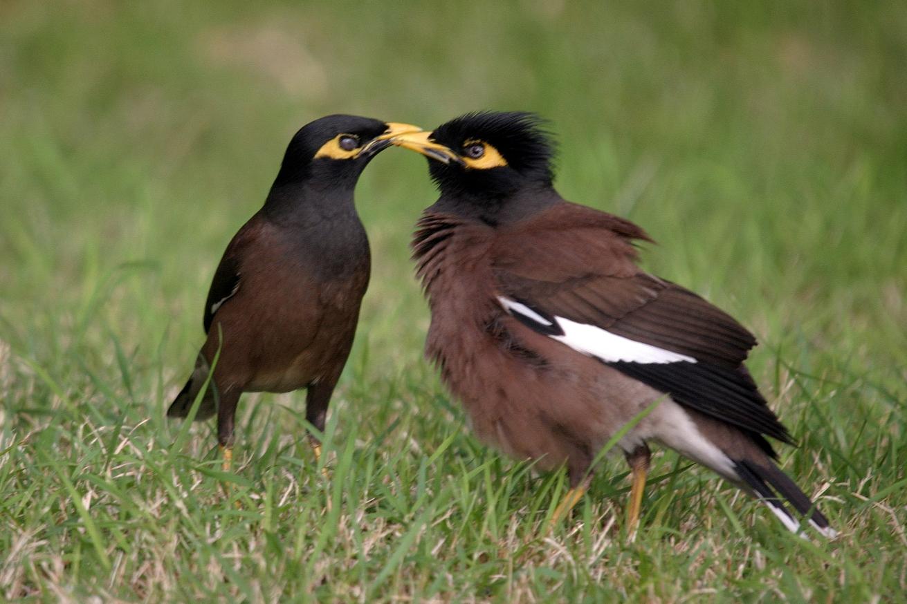 Le site pedagogie de la seor oiseaux nicheurs oiseaux for Oiseau ventre jaune
