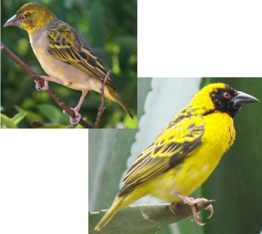Le site pedagogie de la seor oiseaux nicheurs oiseaux for Oiseau jaune et noir